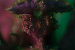 BD-161103-Alor-4573-Rhinopias-eschmeyeri.-Condé.-1977-[Eschmeyer's-scorpionfish].jpg